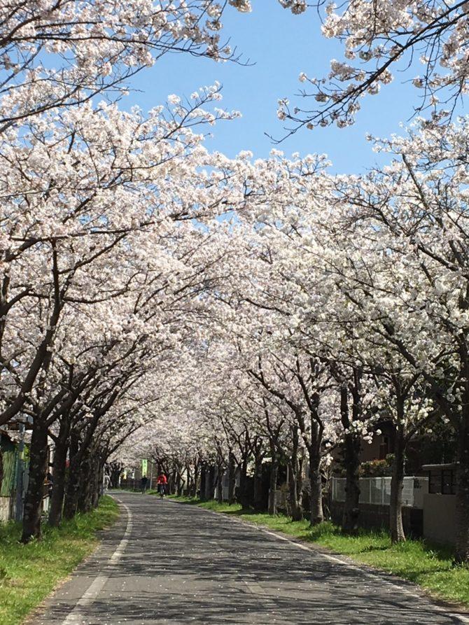 「桜」満開